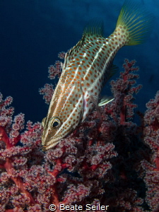 Grouper with softcoral by Beate Seiler